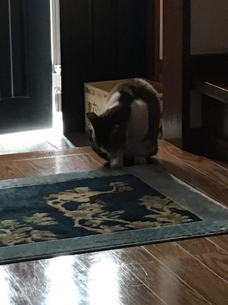 玄関に上がり込んでのんびりするミーちゃんの画像