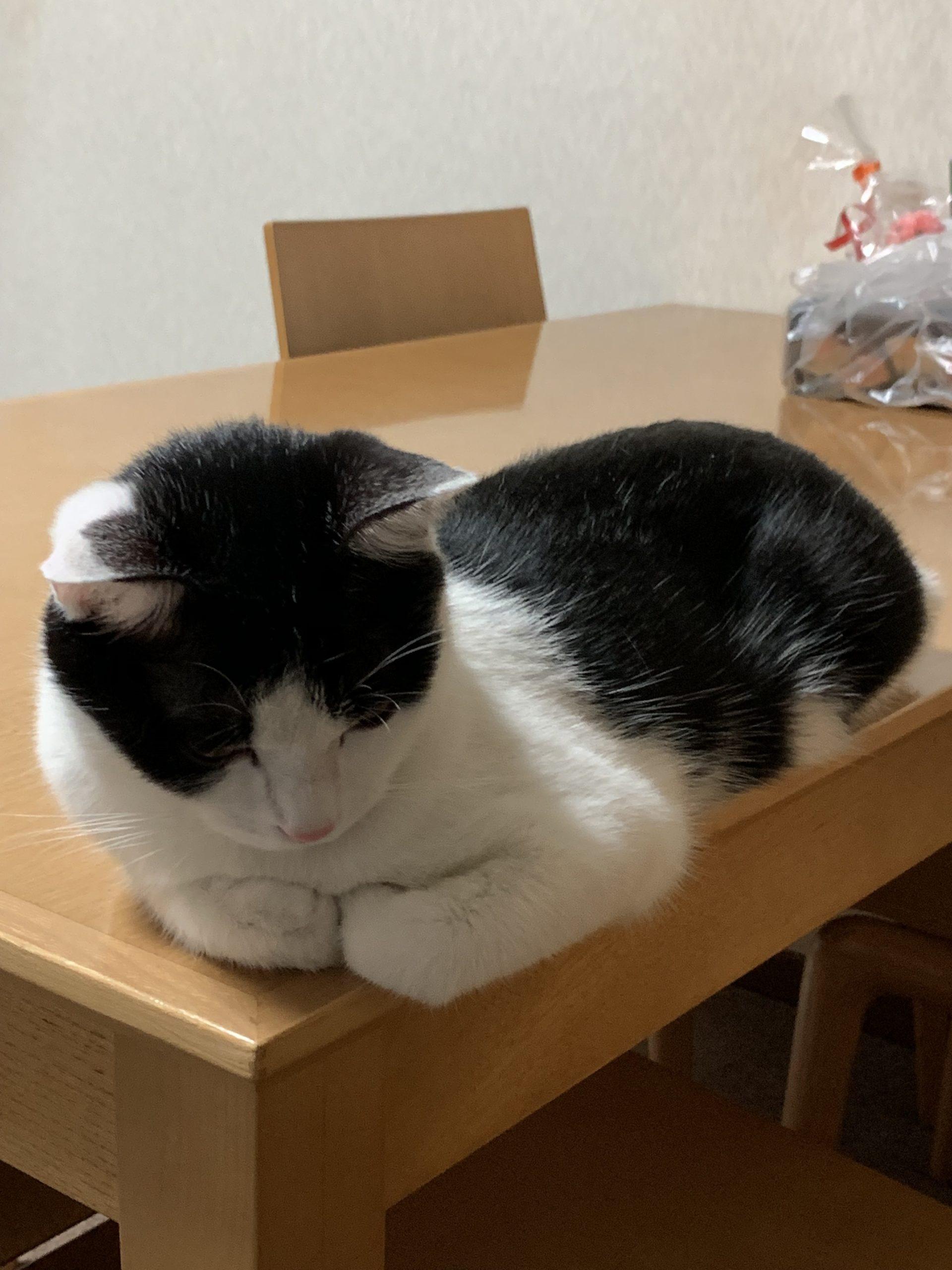 テーブルの上で香箱座り(こうばこずわり)する福先生